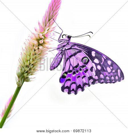Purple Butterfly On Flower