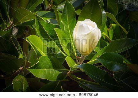 Magnolia bud.