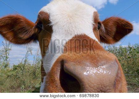 Mottled Calf Muzzle Closeup