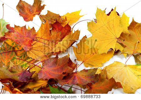 Autumn Dry Maple-leafs