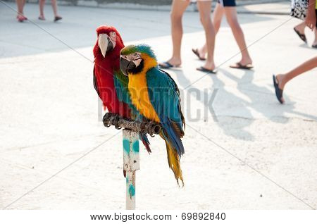 Two Parrots On The Streets Of Anapa, Russia