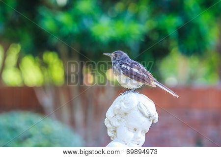 A bird, oriental magpie robin, on the statue in European style garden