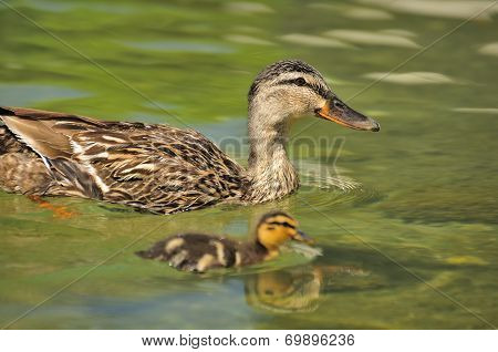 Duck Swimming With Duckling