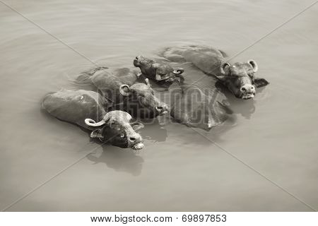 Cows In The Ganges - Varanasi, India