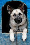 foto of sheep-dog  - a sheep dog is in a house - JPG