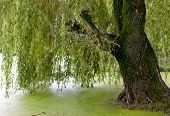 stock photo of weeping willow tree  - weeping willow trees reflected on a river - JPG