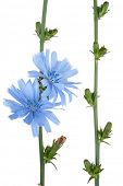 stock photo of chicory  - Medicinal plant - JPG