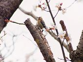 picture of woodpecker  - Yoshino cherry tree blossoms and a pygmy woodpecker  - JPG