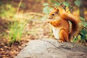 image of animal teeth  - Squirrel red fur with nuts and summer forest on background wild nature animal thematic  - JPG