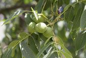 stock photo of walnut-tree  - Green walnuts on a tree branch  - JPG