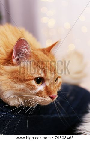Lovable red cat on lights background