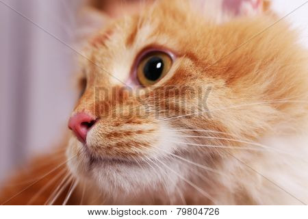 Portrait of lovable red cat, close-up