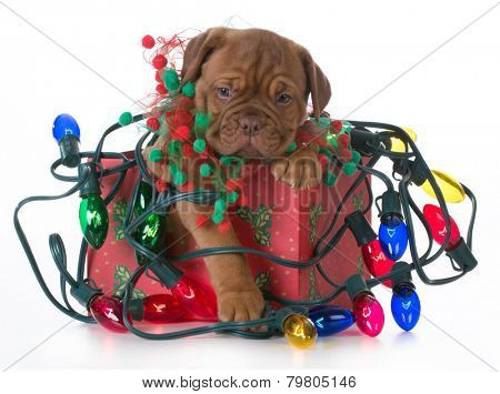 christmas puppy - dogue de bordeaux puppy in a christmas present tangled up in colorful christmas lights on white background