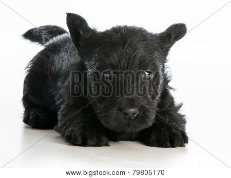 scottish terrier puppy laying down on white background
