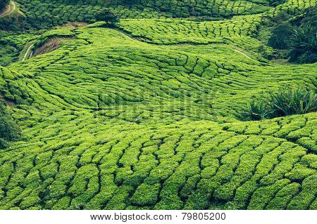 Green Hills Of Tea Planation - Cameron Highlands, Malaysia