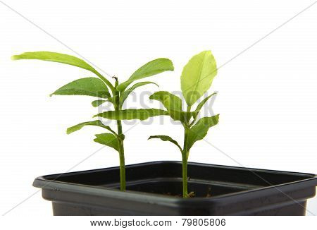 Little plants of citrus growing in a black pot isolated on white background.