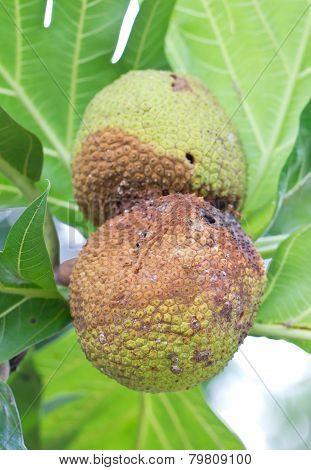 Rotten Breadfruit.