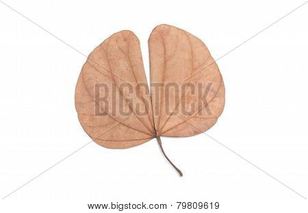 Bauhinia Aureifolia Isolated On White.