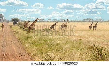 Herd Of Giraffes Along The Road