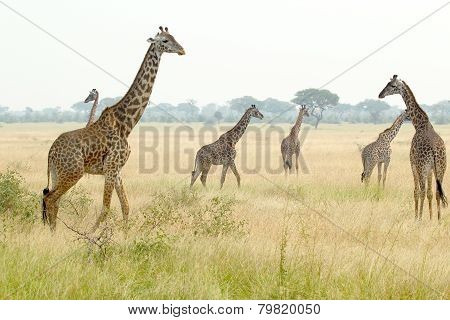 Herd Of Giraffes In Tanzania