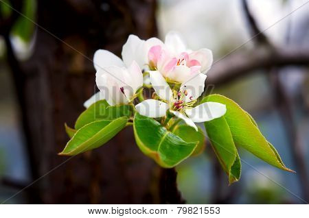 Blossoming apple tree brunch with white flowers on green background