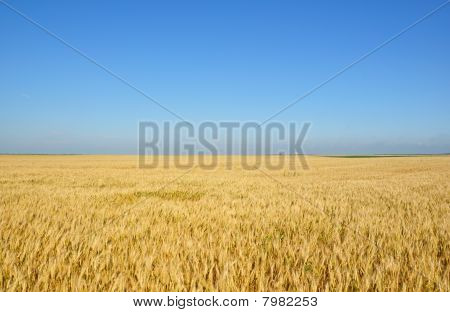 Gold wheat field
