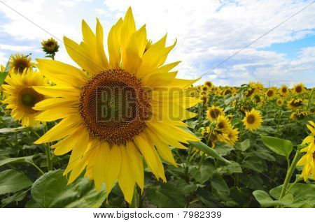 Sunflower. Field of sunflowers