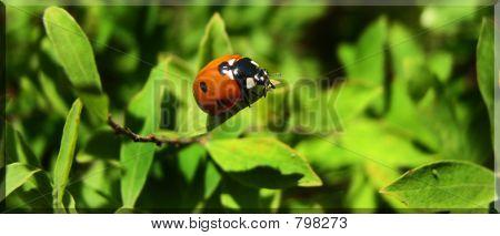 Lady Bird Lady Bird