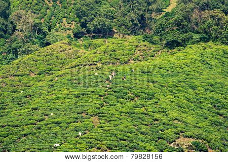Tea Plantation At The Cameron Highlands, Malaysia, Asia