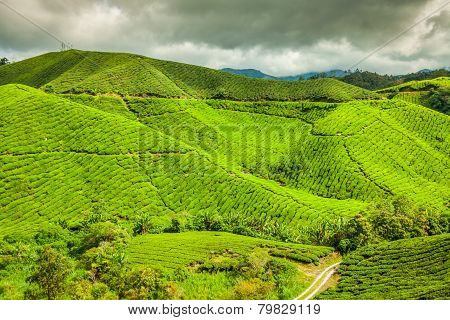 Tea Plantation At The Cameron Highlands, Malaysia, Asia