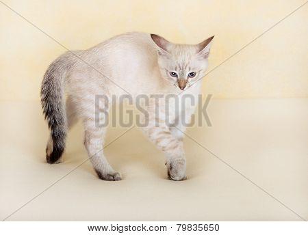 Thai kitten attacks.