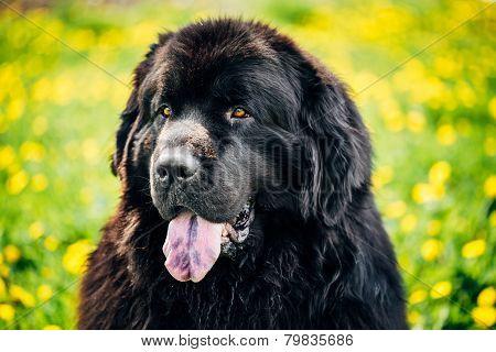 Black Newfoundland Dog Summer Meadow. Outdoor Close Up Portrait