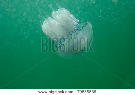 Sea jellyfish in the sea