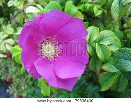 Magenta flowering wild rose