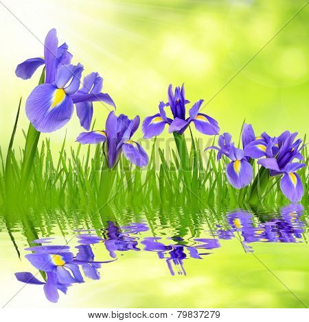 Iris flowers with dewy grass
