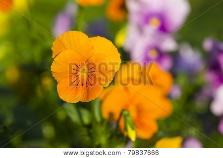 Horned Pansy