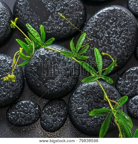 Beautiful Spa Background Of Green Twig Passionflower With Tendril On Zen Basalt Stones With Dew, Clo
