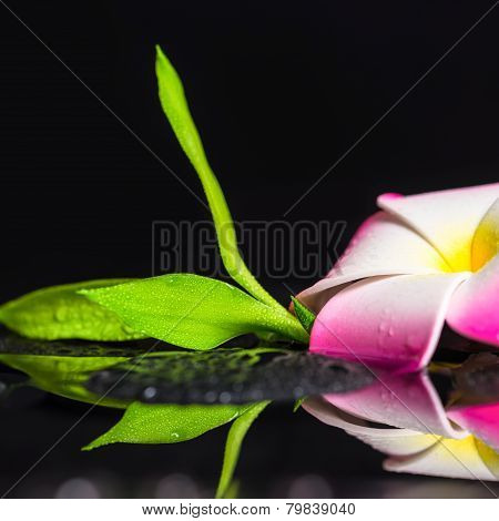 Beautiful Spa Still Life Of Green Branch Bamboo, Plumeria Flower With Drops On Zen Basalt Stones, Cl