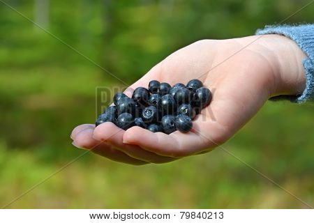 Nature Gift- Blueberry At The Child Hand