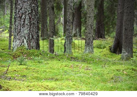 Forest With Green Bright Moss