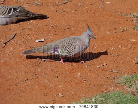 The Australian Crested Pigeon