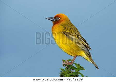 Male Cape weaver (Ploceus capensis) perched on a branch against a blue sky, South Africa