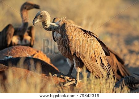 White-backed vultures (Gyps africanus) scavenging on a carcass, South Africa