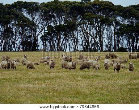 Australian sheep in a field