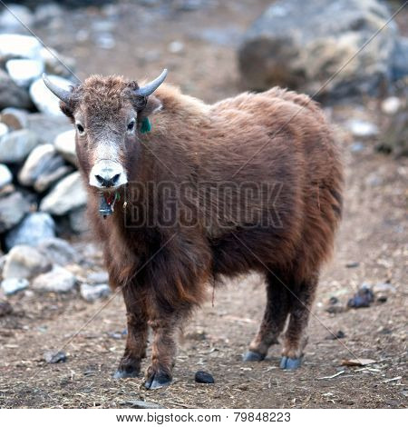 Young Dzo Yak in the Nepal Himalaya