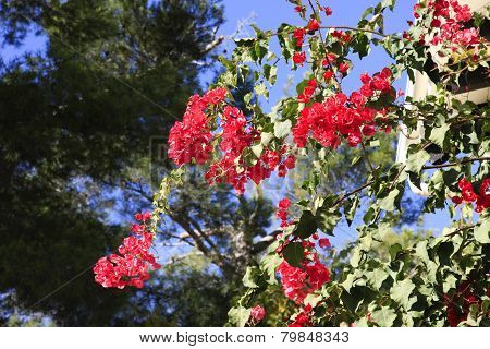 Beautiful red Bougainvillea flowers