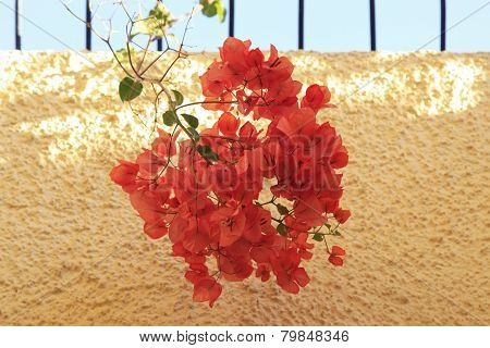 Orange Bougainvillea flowers