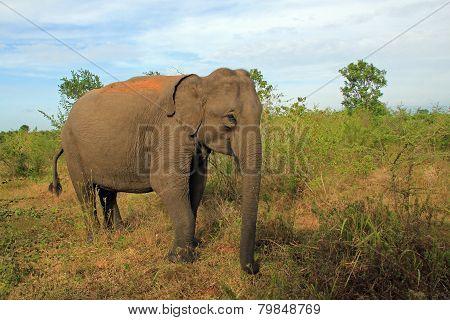 Lankesian Elephant