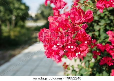 Beautiful Pink Bougainvillea flowers