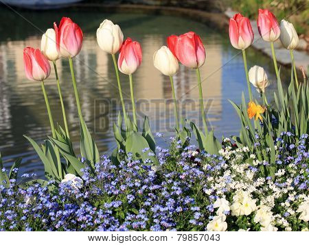 Yellow And Red Tulips With Water Drops And Pond